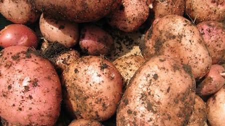 potato growing allotment