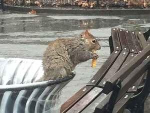 Shake Shack Madison Square Park squirrel