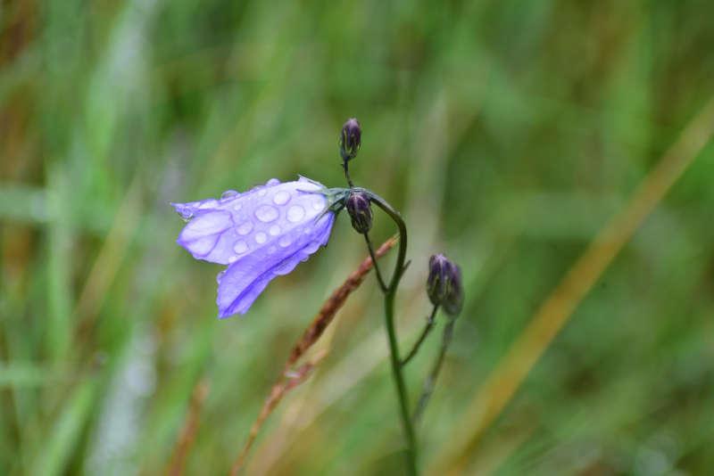 Away a wee walk - harebell flower