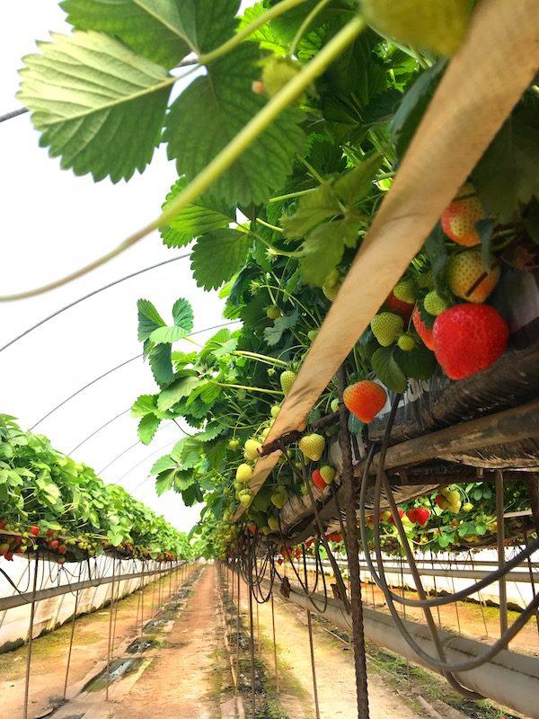 barnsmuir farm strawberries