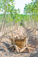 Cassava small for Colonial Eating smaller