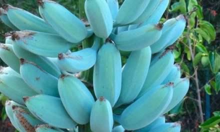Blue Java, la banana dal colore azzurro