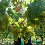 Il Verdicchio– Elogio del vino italiano