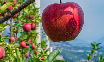 """Le """" mele del Trentino"""" hanno ottenuto il riconoscimento di nuova IGP italiana"""