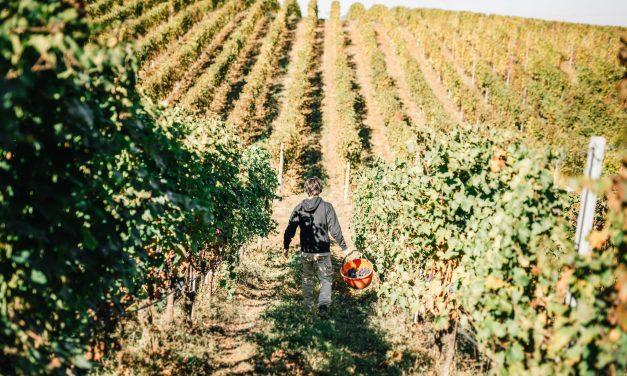 Monte delle Vigne, al via la prima vendemmia biologica