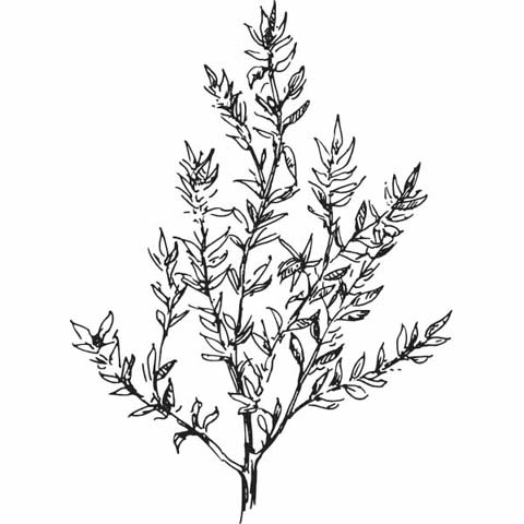 How much iron is there in dried thyme essay