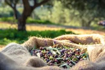 Italia Olivicola Sacco di Olive