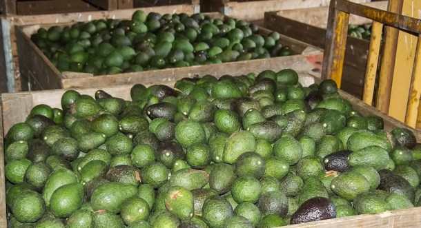 FooDosage - Under Review - Avocados - Is the world's hunger for avocados unjustified