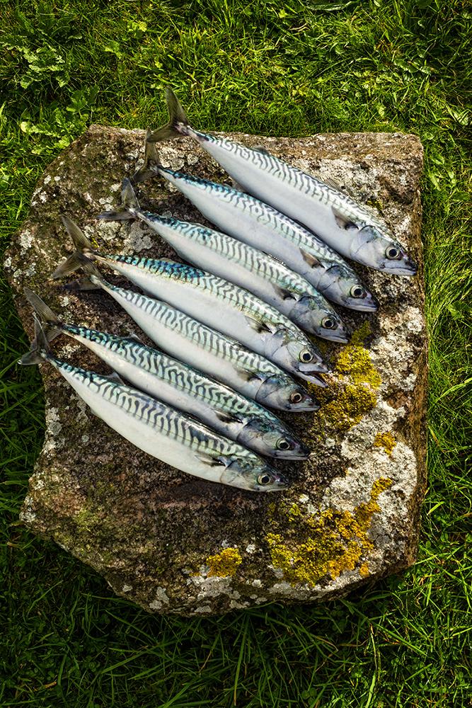 fresh caught mackerel on stone