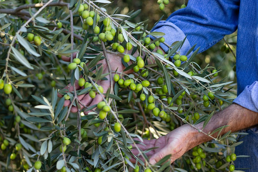 David Jackson harvesting California olives