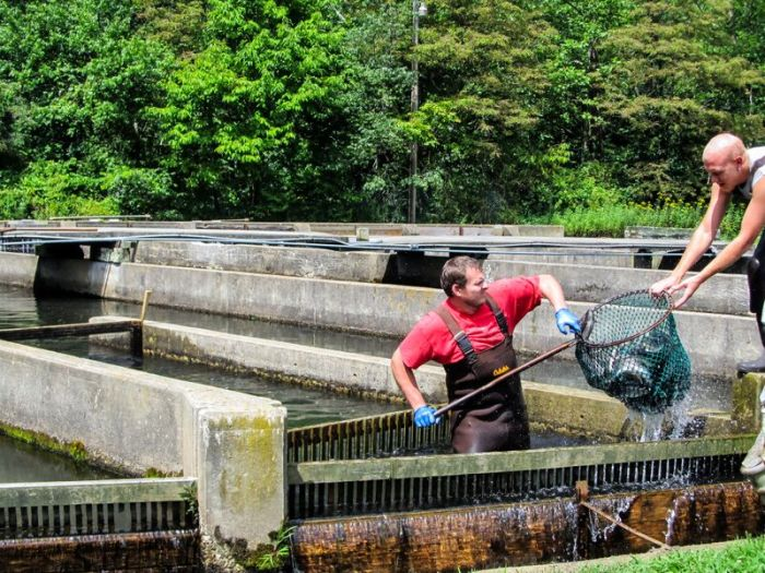 Netting trout