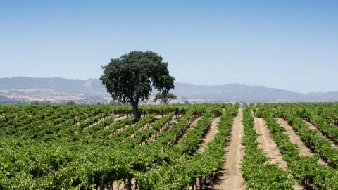 J. Lohr vineyard