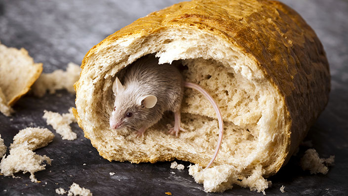 How to Keep Rodents Out of Your Restaurant