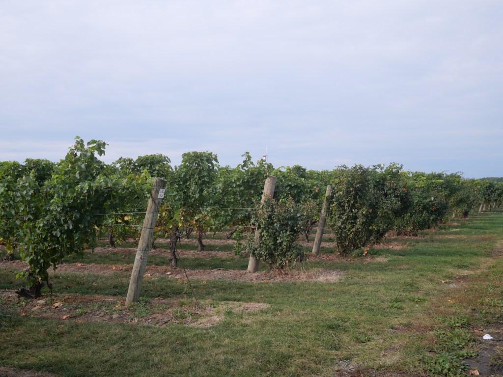 Niagara vines