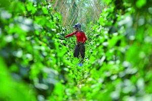 Van'ın Gevaş ilçesindeki tarım arazilerinde yetiştirilen sebzeler, kadınlar tarafından toplanarak tezgahlardaki yerini alıyor. Gevaş'taki son yıllarda sağlanan desteklerle binlerce dönüm tarım arazisinde yapılan sebze yetiştiriciliği, ilçe ekonomisine büyük katkı sağlıyor. Çiftçiler, ilkbahar mevsiminden itibaren ektikleri sebzelerin hasadını da daha titiz ve özenli iş yaptıkları için kadın ve genç kızlara yaptırıyor. Hasat dönemi sebze toplayan kadınlar, hem aile bütçelerine katkı sağlamak hem de kendi ihtiyaçlarını karşılamak için tarlada çalışıyor. (Özkan Bilgin - Anadolu Ajansı)