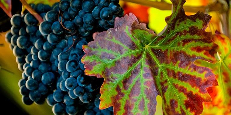 WINE/ NASCE IN CALABRIA LA PRIMA GRAPPA DI ZIBIBBO DI PIZZO DALLE CANTINE BENVENUTO A FRANCAVILLA ANGITOLA