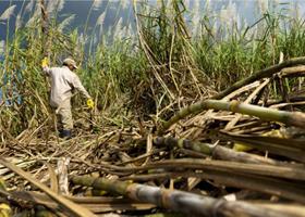 Sugar Cane THUMBNAIL