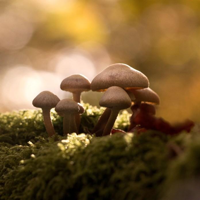Vous reprendrez bien un carré de champignons ?
