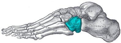 """Bildergebnis für """"Cuboid bone"""""""
