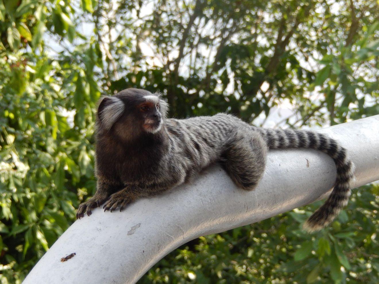 Copacabana a monkey on railing