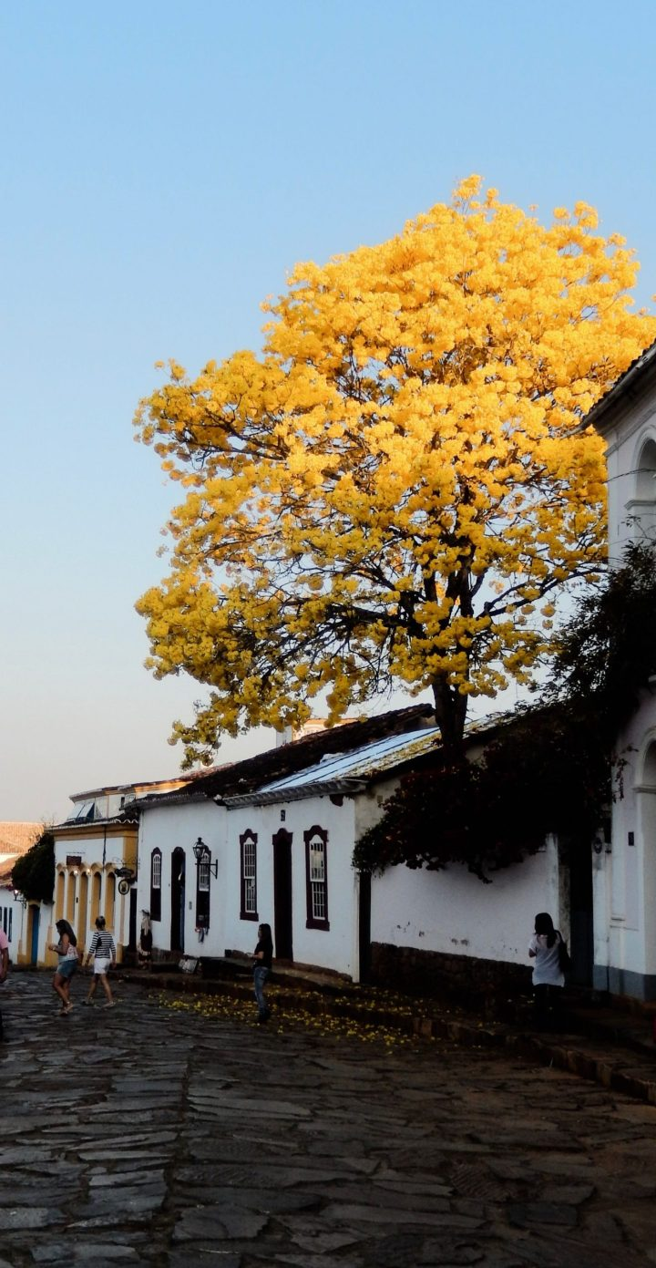 Blossoming Ipê tree in Brazil Tiradentes, Minas Gerais.
