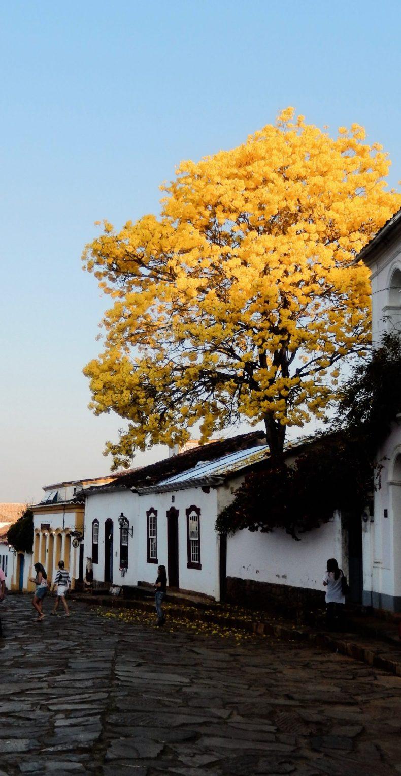 Blossoming Ipê tree in Brazil Tiradentes, Minas Gerais.
