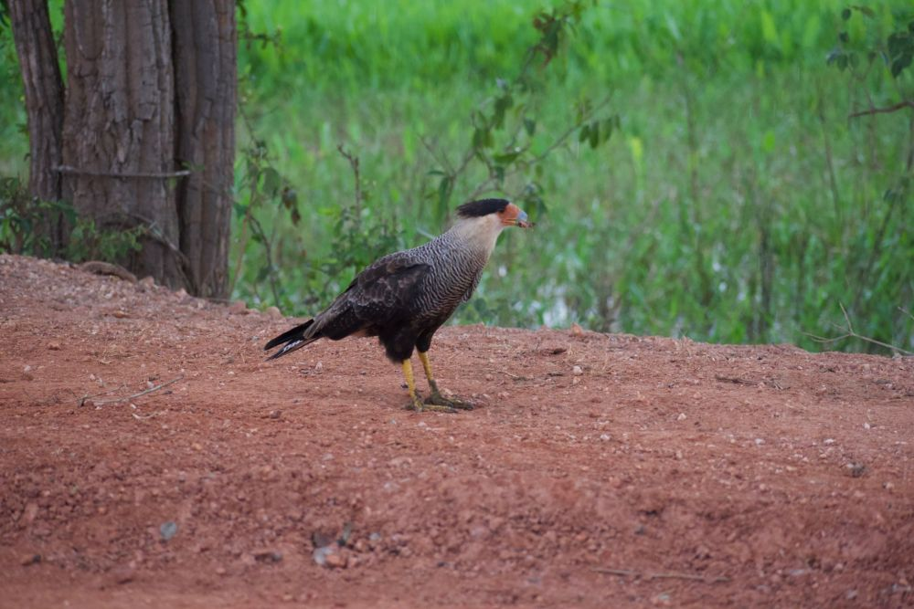 Bird of Prey in Pantanal