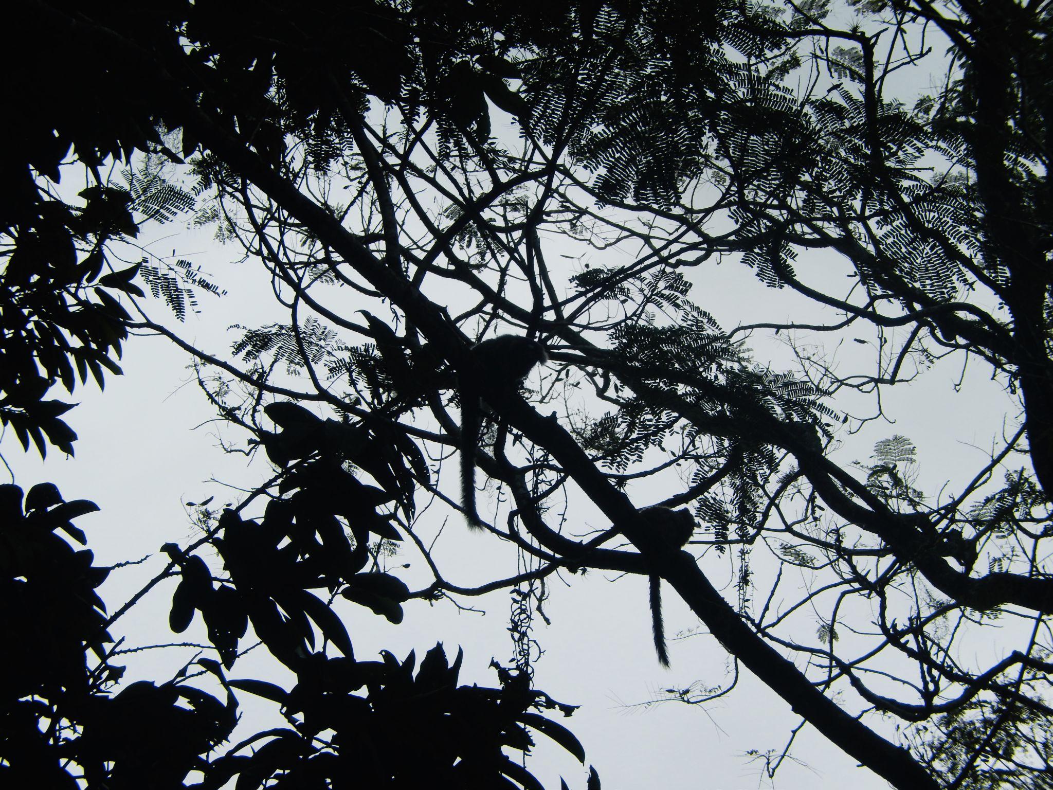 Monkey-tails-in-Rio-de-Janeiro
