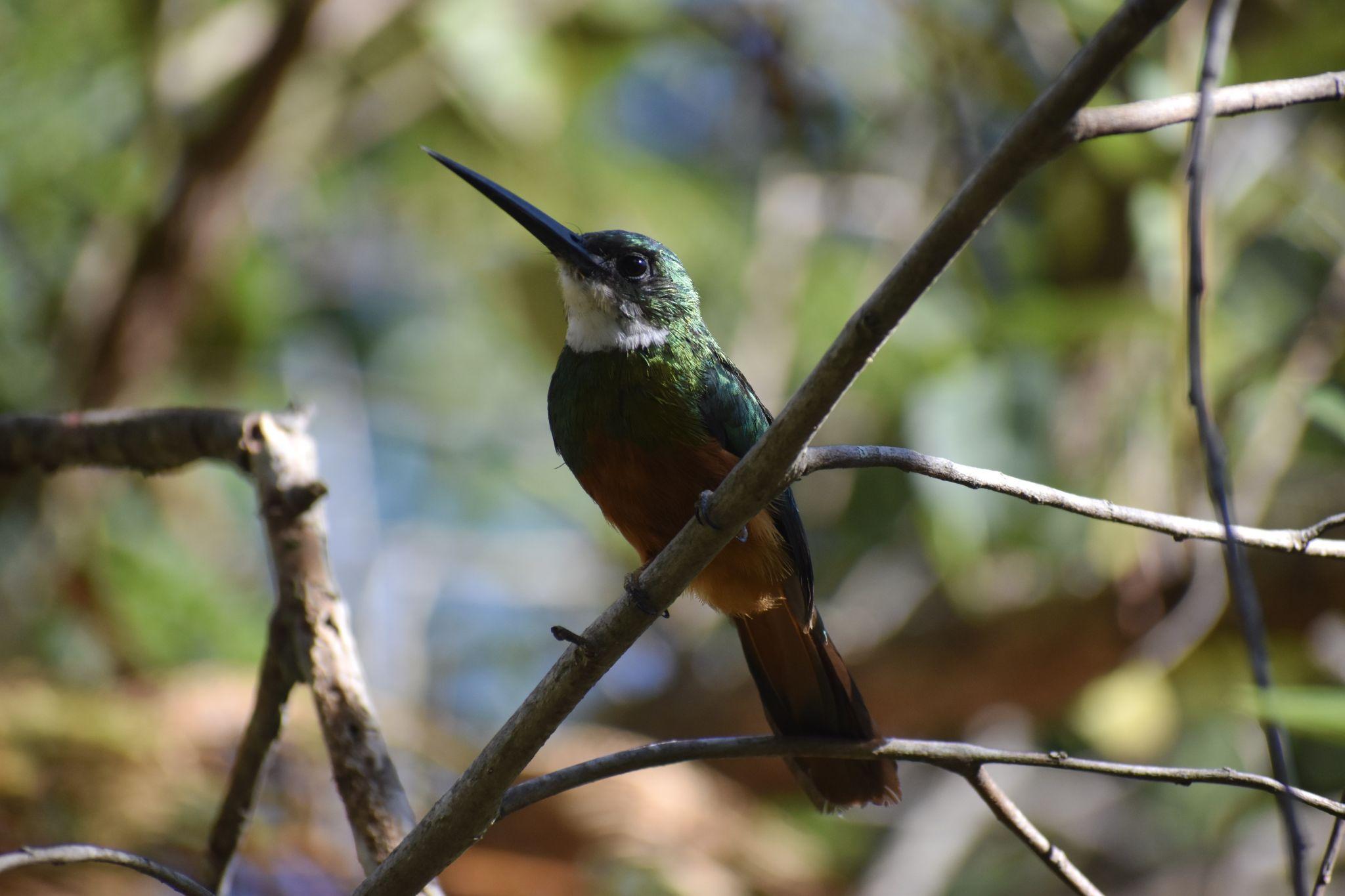 Hummingbird-Brasília