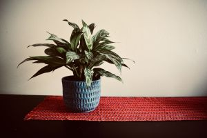 Chinese-Evergreen-with-Guatemalan-table-runner