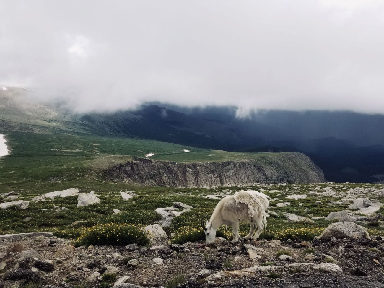 Mountain Goat on Mount Evans