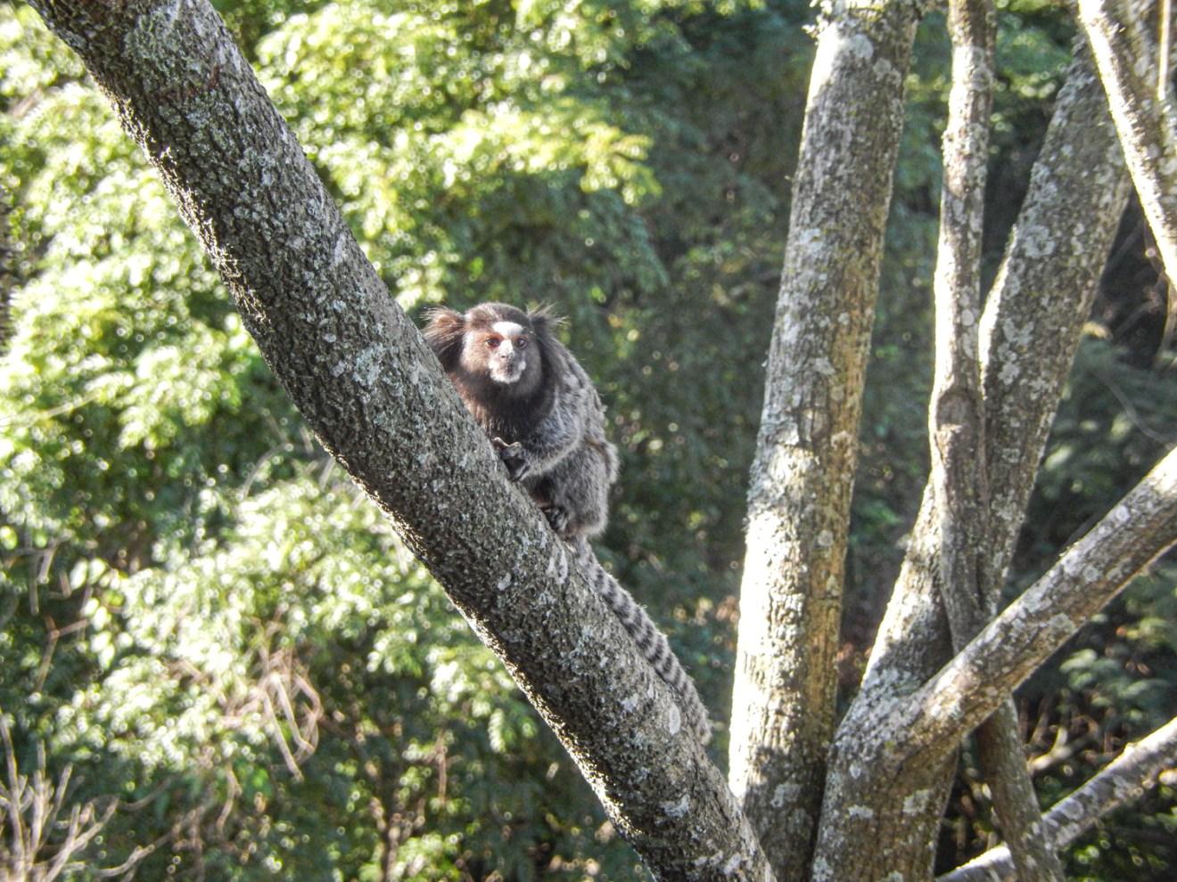 Mico monkey in Rio de Janeiro