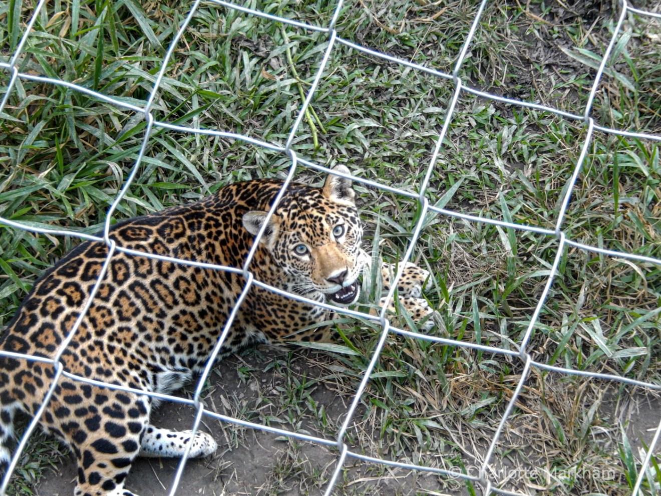 Brazilian jaguar in sanctuary