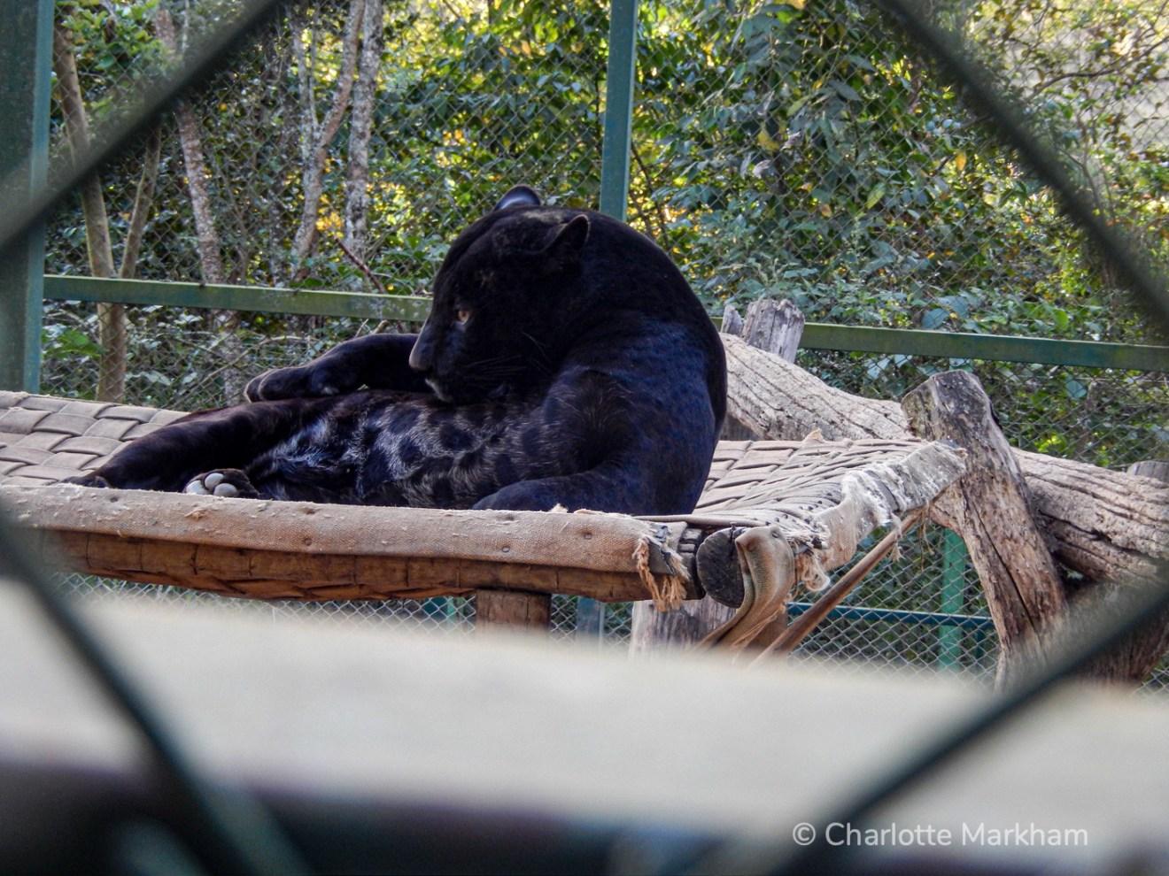Black jaguars or pantha in Nex No Extinction facility.