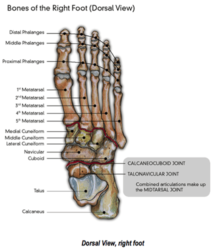 bones in your foot diagram poulan fuel line the feet and lower limbs footmaxx of