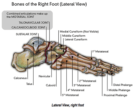 joints of the foot diagram truck radio wiring feet and lower limbs footmaxx