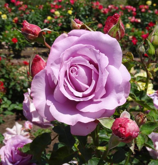 SD Rose Garden