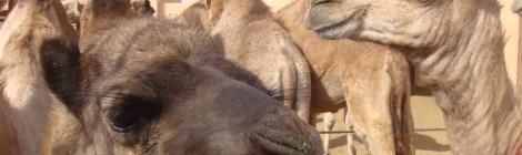 Camels at Al Ain Livestock Market, UAE