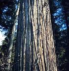 Western redcedar bark