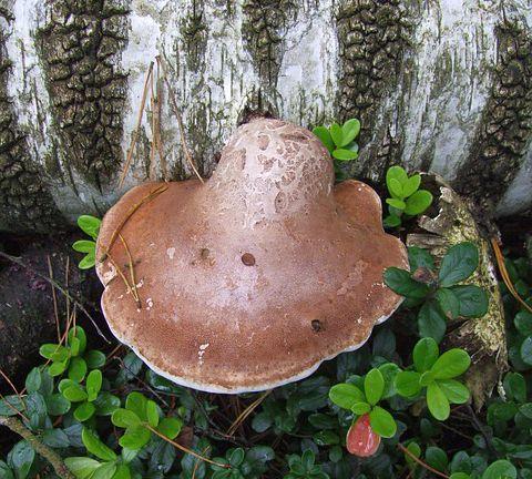 Birch Polypore – The Secret Life of A Mushroom