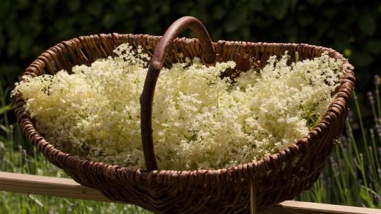 Elderflower Champagne – In 5 Easy Steps!