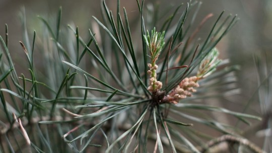 10 Reasons Why You Should Be Foraging for Pine Needles