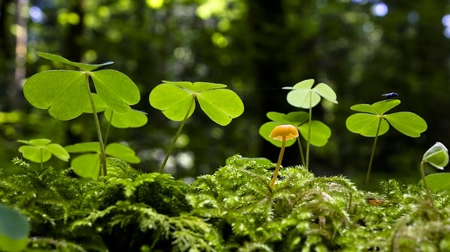 Wood Sorrel - 5 Health Benefits