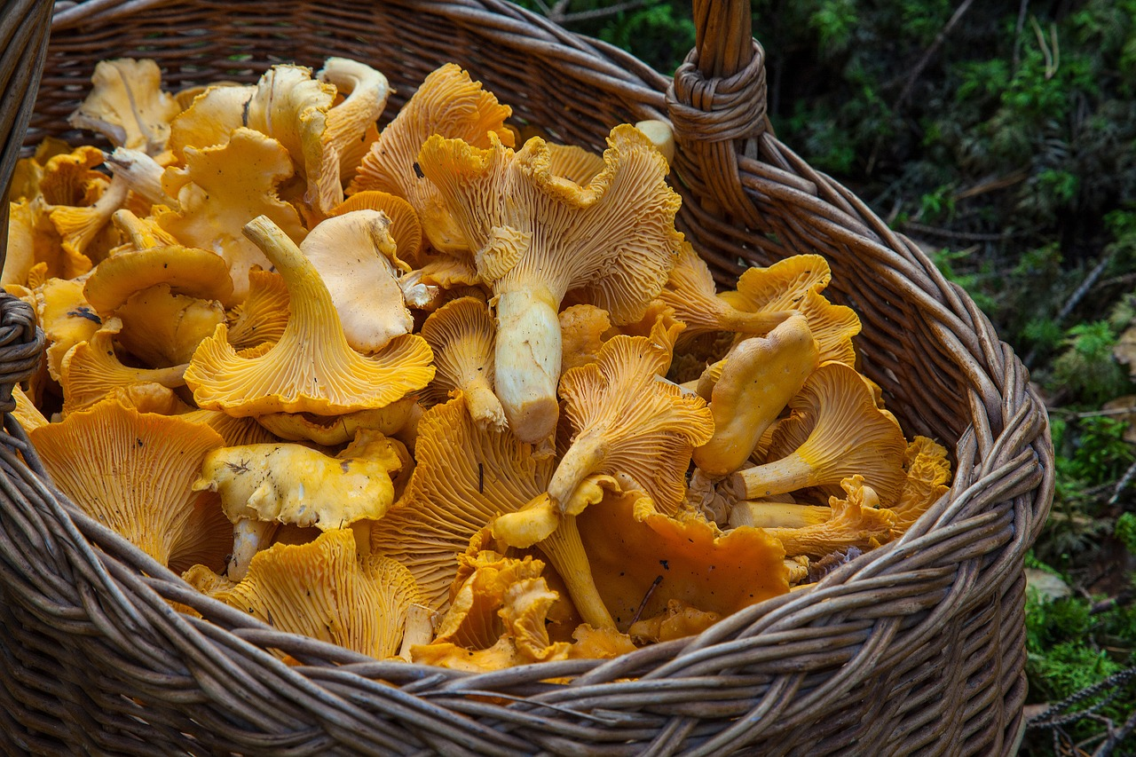 Foraging Fun - Chanterelle Mushrooms