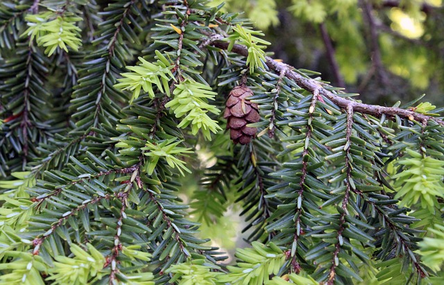 Beginners Guide to Identifying Conifers - Hemlock