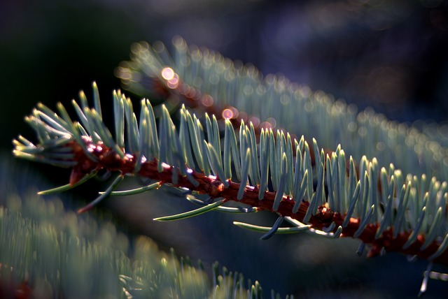 Beginners Guide to Identifying Conifers - Spruce