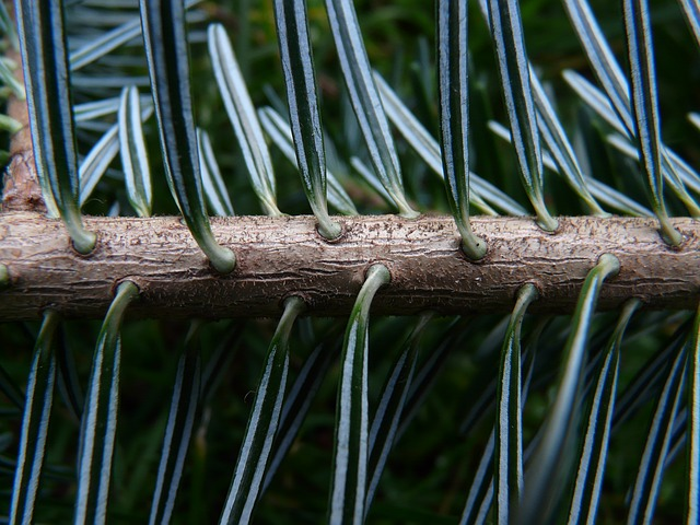 Beginners #guide to Identifying Conifers - Fir Tree