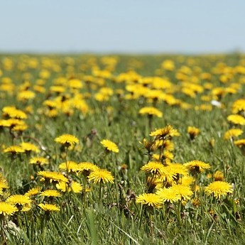 Natural Remedies - Dandelions