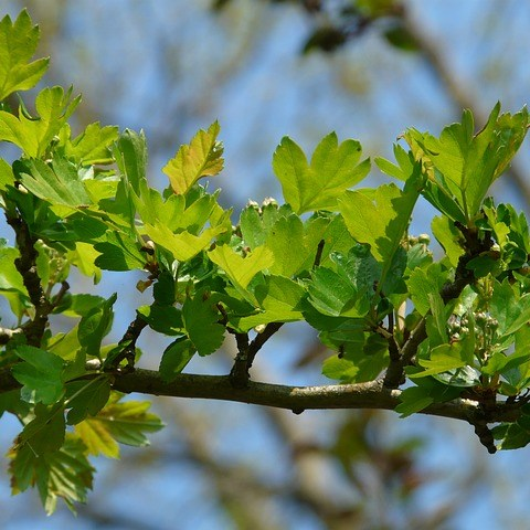 Natural Remedies - Hawthorn