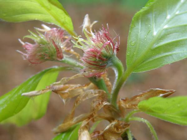 Beech Tree - Female Flowers